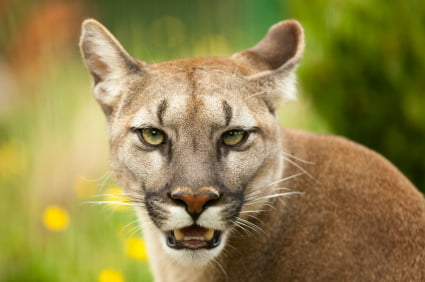 Puma Reizt Einen Schwanz