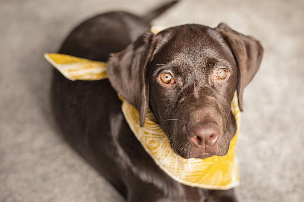 Gelbe Schleife: Das bedeutet sie für Hundehalter   herz