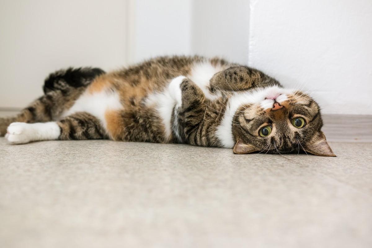 Woran erkennt man eine schwangerschaft bei katzen