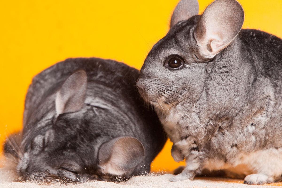 Chinchillas Als Haustier Richtig Halten Kauf Kafig Sandbad