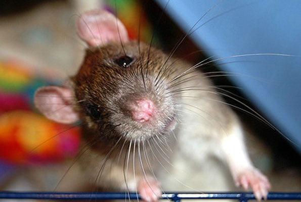 Ratten Verhalten