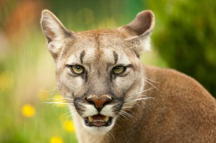 Großer Schwanz Für Ein Puma-Weibchen