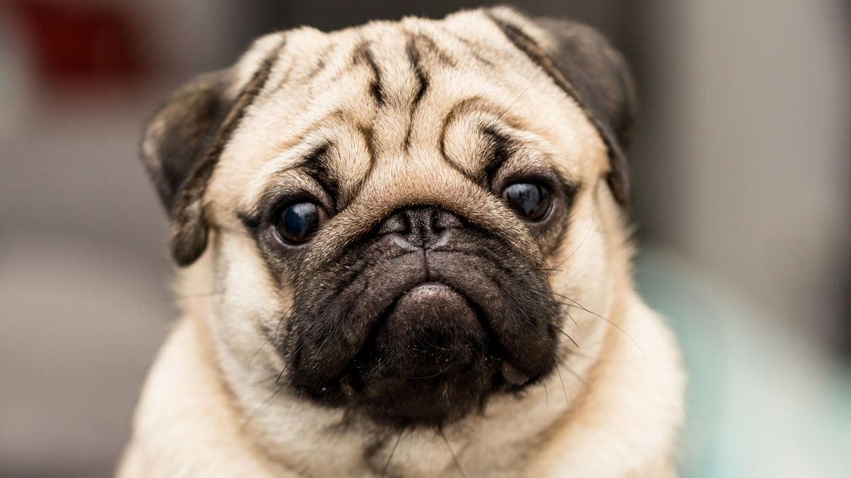 Qualzucht Hunderassen