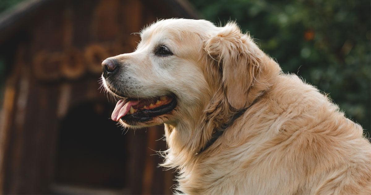 Anzeichen, dass ein Hund zum Senior wird