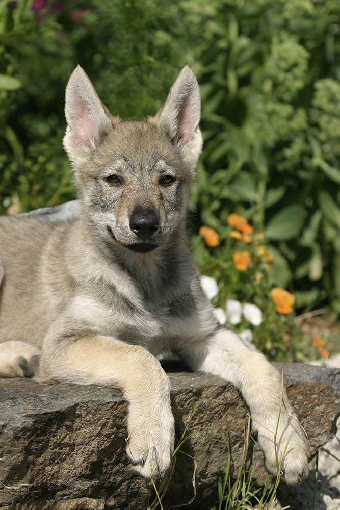 Tschechoslowakischer Wolfshund Haltung